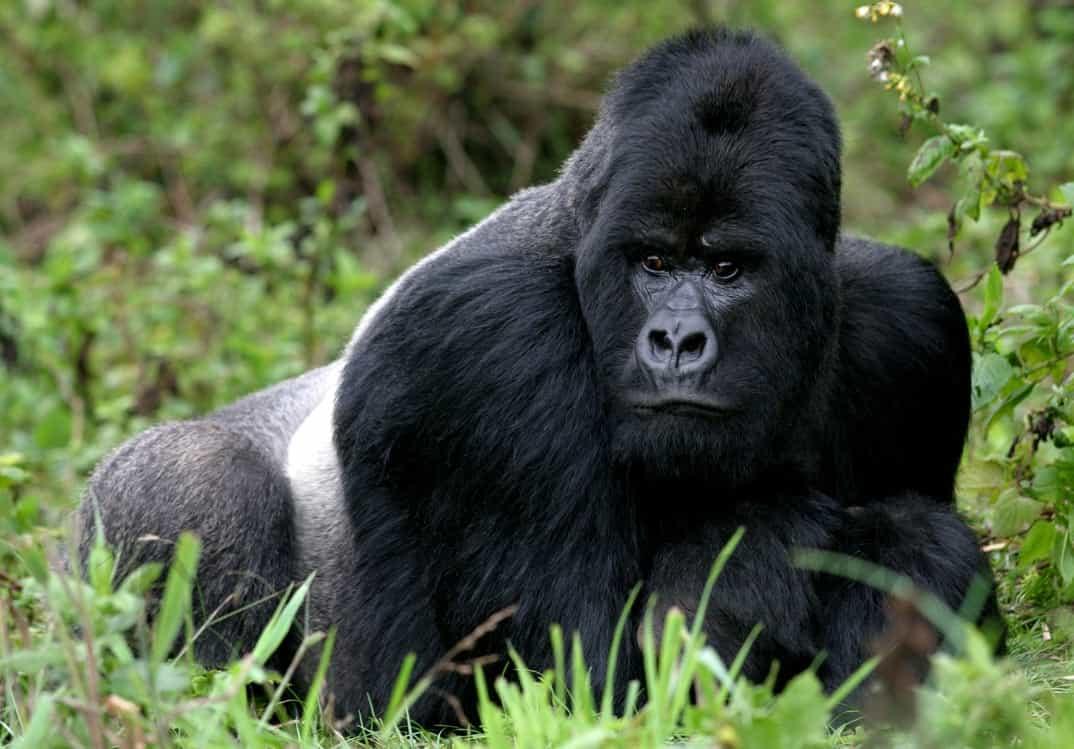 15-Gorila-Ruanda