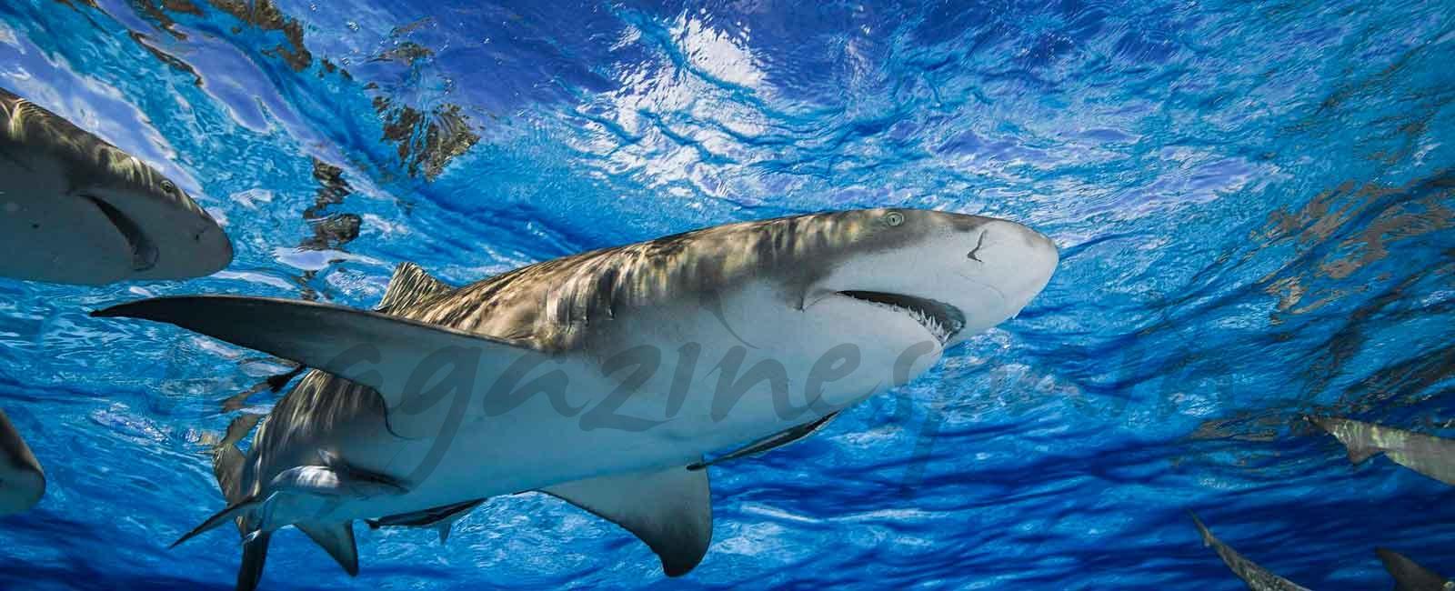 Bucea con tiburones en Bahamas