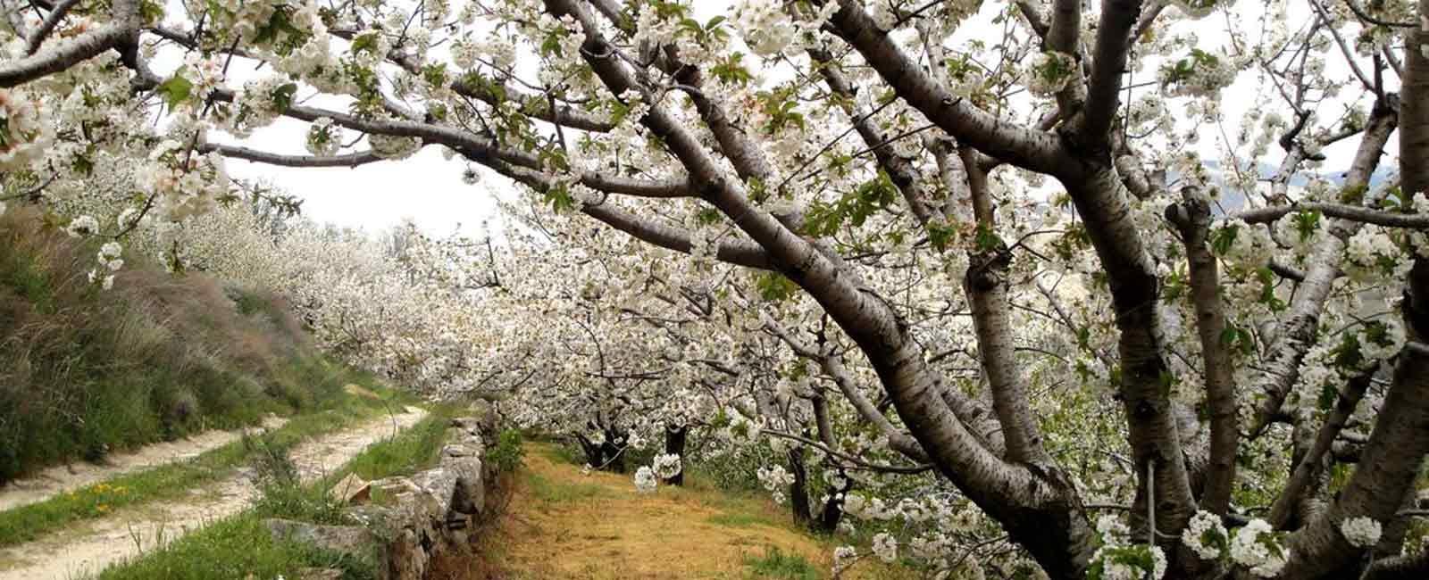 ¡Ya están aquí! Los cerezos del Valle del Jerte ya están en flor