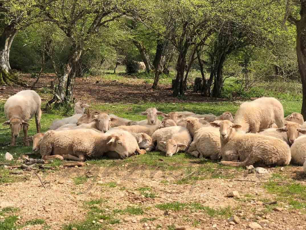 ovejas-entrada