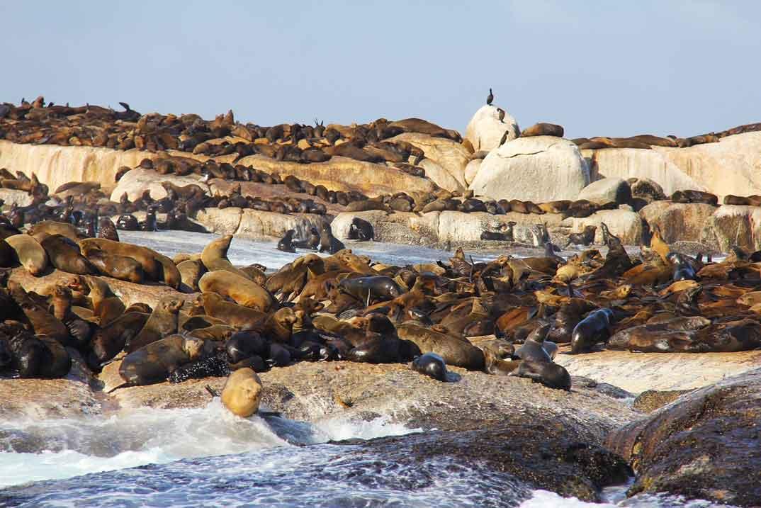 Lobos-marinos-Hout-Bay