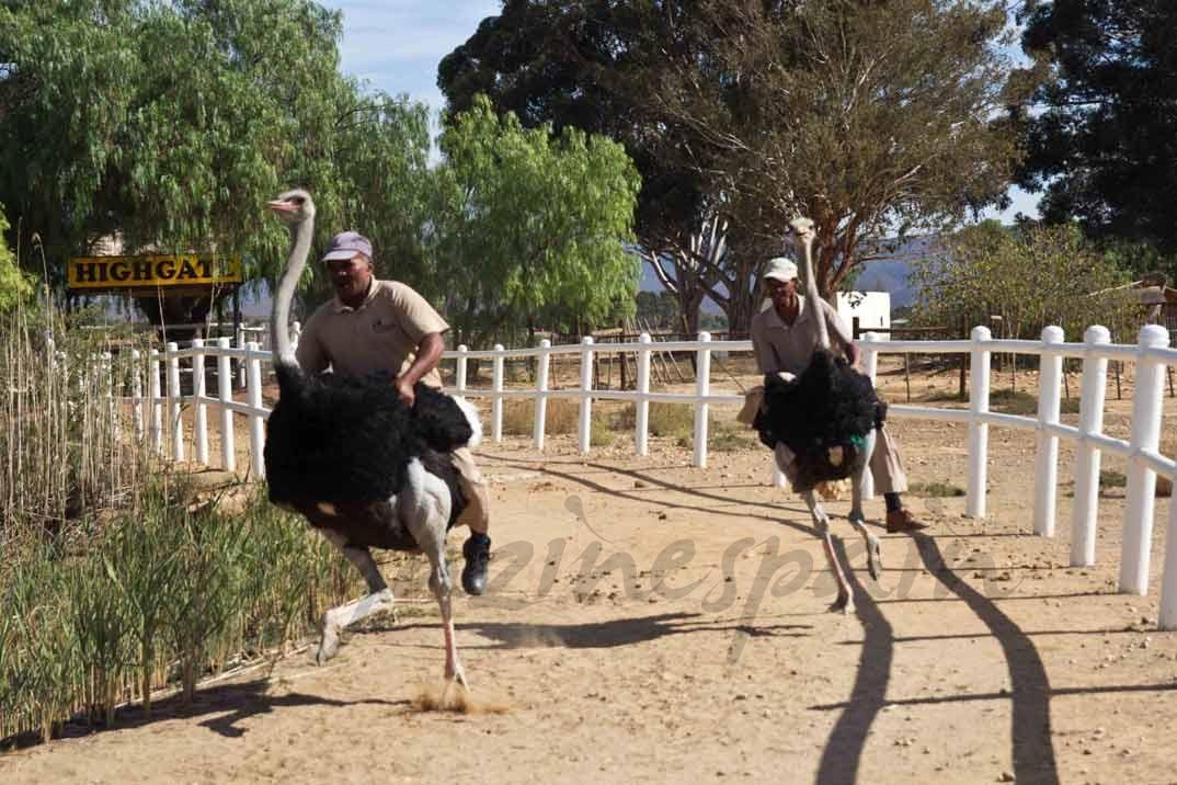 montar-avestruz