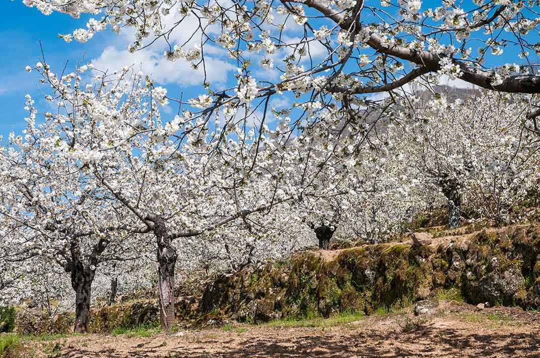 Cerezo en Flor- Valle del Jerte