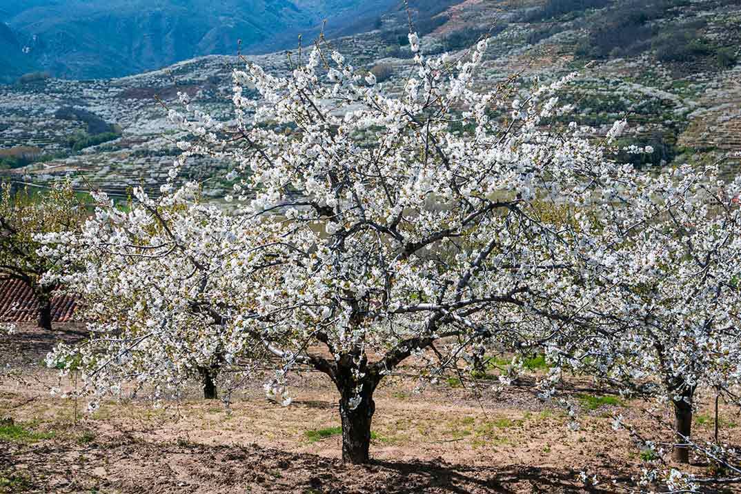 La floración 2019 ha comenzado en el Valle del Jerte
