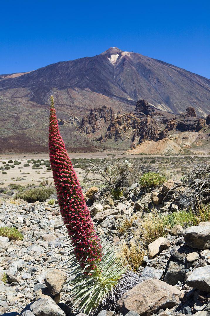 Flora Teide - Turismo de Tenerife