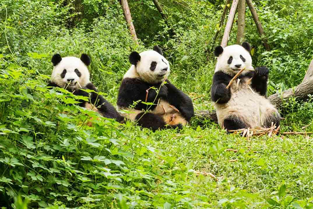 Reserva-de-Pandas-de-Chengdu