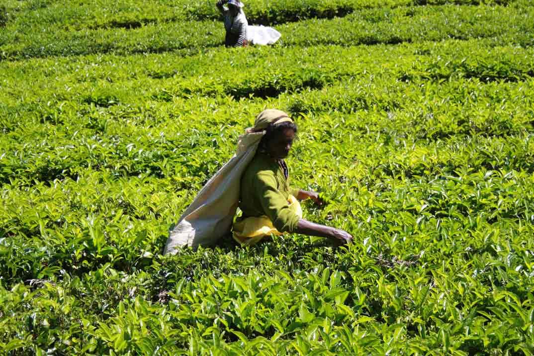 Lo mejor de Sri Lanka: Nuwara Eliya y sus plantaciones de té