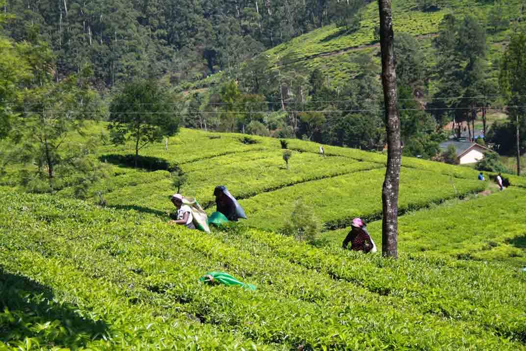sri-lanka-nuwara-eliya-mujeres-plantacion
