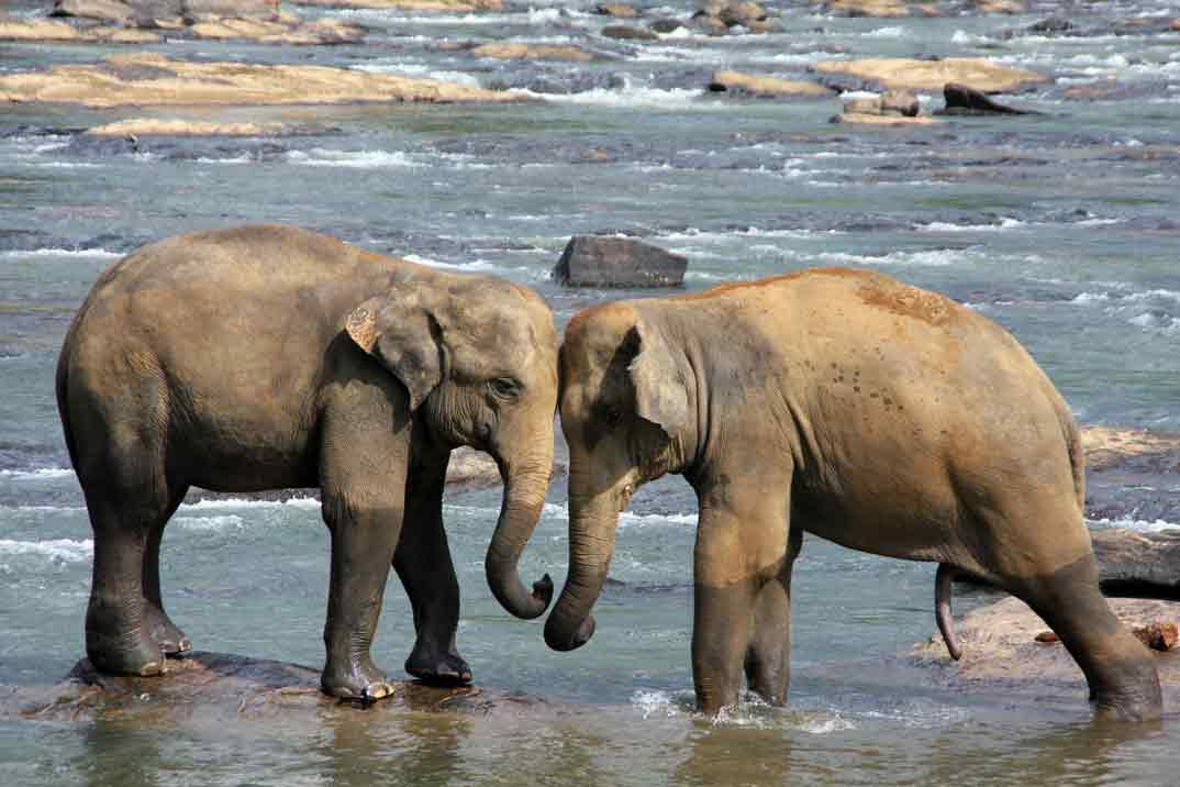 sri-lanka-elefantes