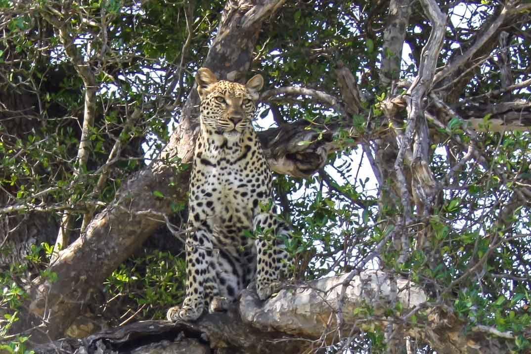 sri-lanka-leopardo-2