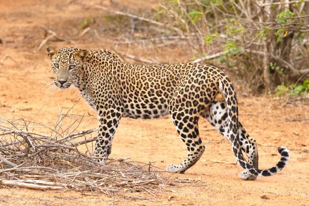 sri-lanka-leopardo