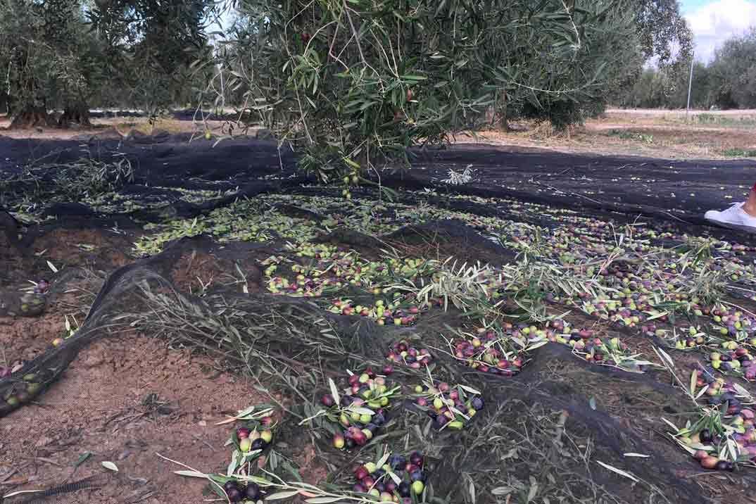 aove-cortijo-milagros-olivar