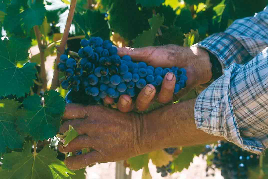 bodegas-carrascalejo-uva