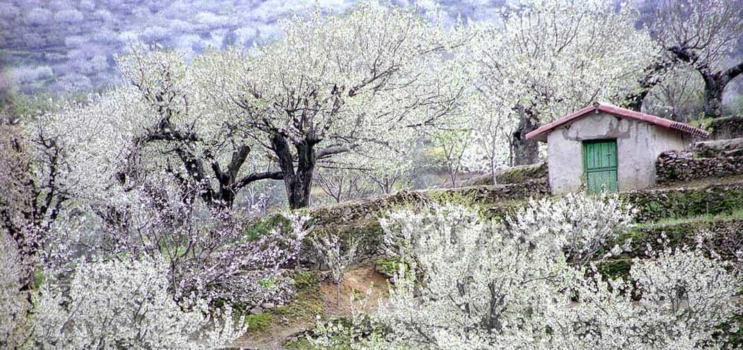 El Valle del Jerte en el punto álgido de floración