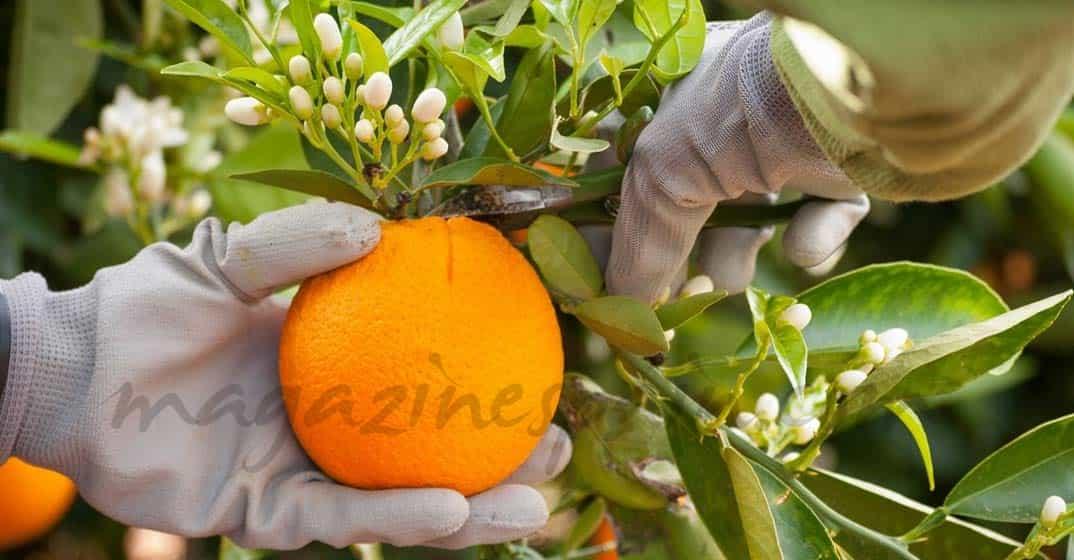 Es época de naranjas ¿te apetece?