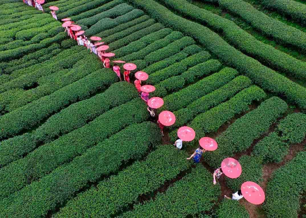campos de te en china
