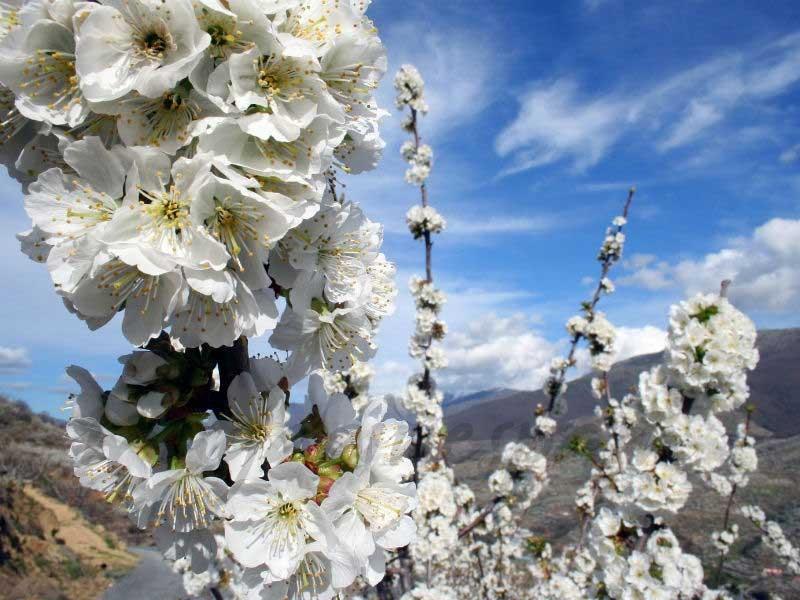 Cerezo en flor © Turismo Valle del Jerte
