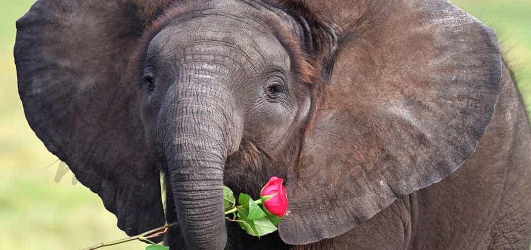 Los elefantes también tienen su San Valentín