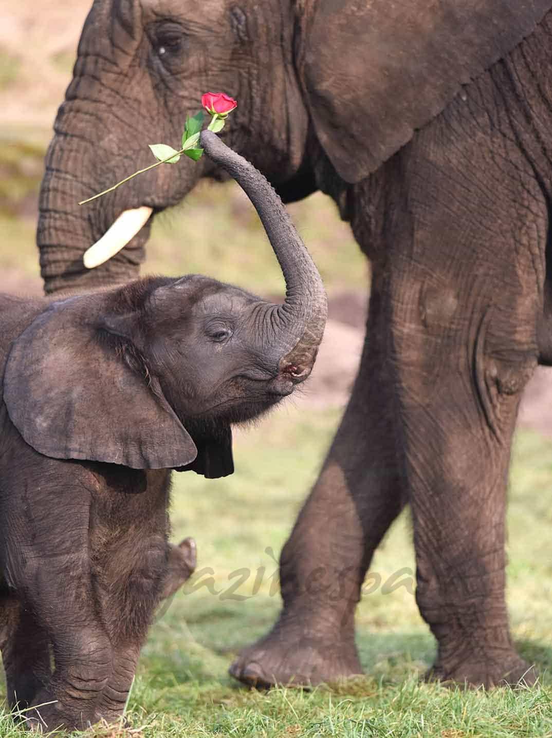 elefante-san-valentin-2