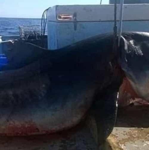 En Nueva Gales, Australia, capturado un tiburón tigre de 6 metros.