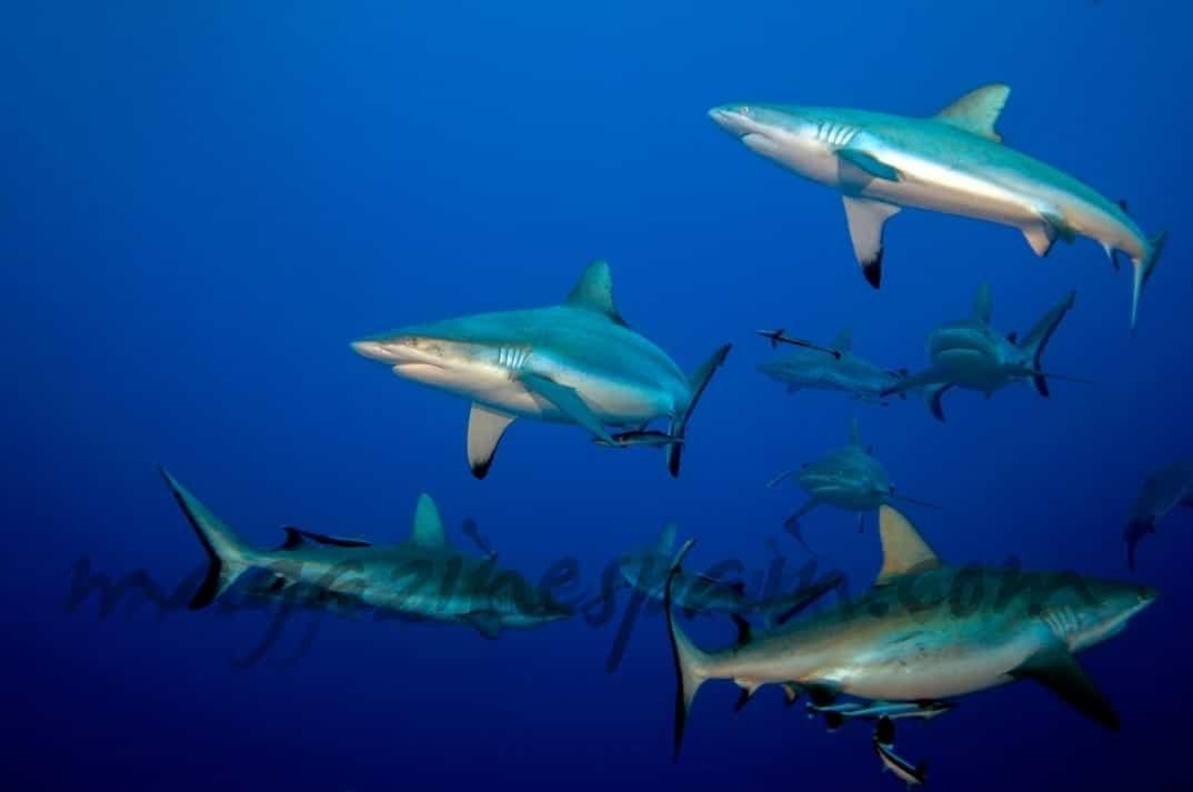 Tiburón en la costa valenciana